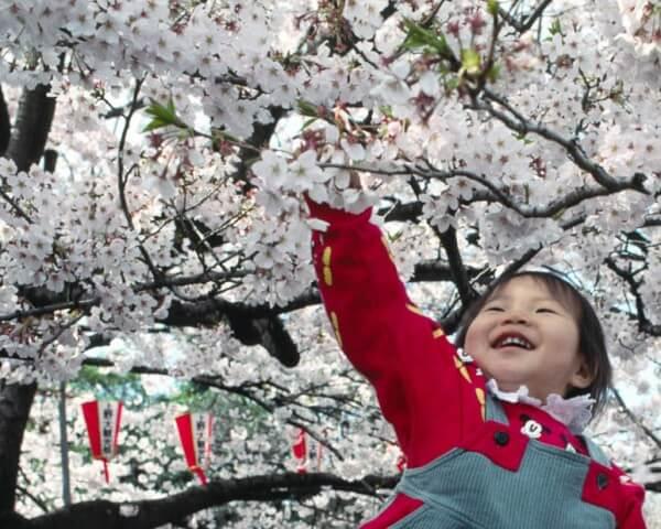 La célébration des cerisiers en fleurs, début avril, période de ferveur collective où l'on pique-nique sous les arbres (Hanami)